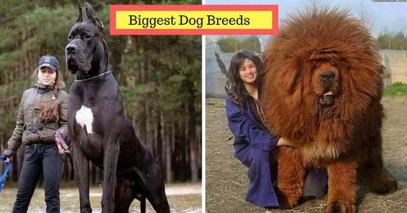 10 Biggest Dog Breeds In The World You D Want To Own